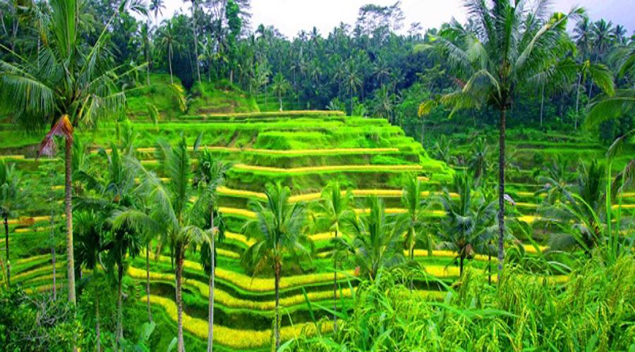 Enjoy The Amazing Tegalalang Rice Terrace, a Beautiful Scenes of Rice Paddies in Ubud