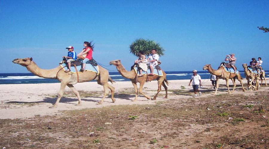 Enjoy Our Special Offer For Safari 3 Camel Riding Package at Hilton Hotel Bali by Bali Camel Safaris