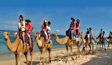 Enjoy Our Special Deal For Safari 5 Camel Riding Package at Hilton Hotel Bali by Bali Camel Safaris
